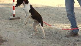 De gekruiste zwart-witte hond op een leiband springt over een ketting op zijn achterste benen bij het bevel van de eigenaar Nieuw stock video