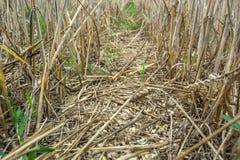 De gekweekte korrel op het gebied, van verliezen tijdens het oogsten door a maaidorser stock fotografie