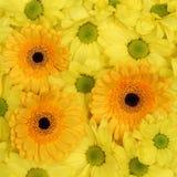 De gele achtergrond van bloemenchrysanten in lentetijd of mot Royalty-vrije Stock Foto's