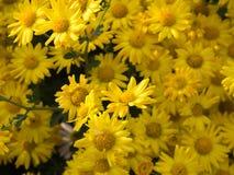 De gele achtergrond van de Chrysantenbloem Royalty-vrije Stock Afbeeldingen