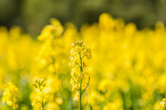 De gele achtergrond van de bloemweide Royalty-vrije Stock Afbeeldingen