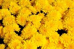 De gele Achtergrond van de Chrysant Royalty-vrije Stock Afbeeldingen