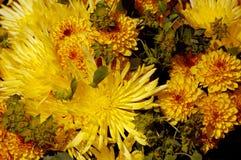 De gele achtergrond van de chrysantenbloem Stock Afbeeldingen