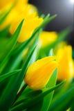 De gele achtergrond van de tulpenbloem Stock Foto's