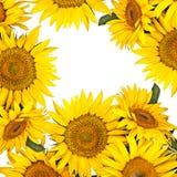 De gele achtergrond van de zonnebloembloem Stock Foto's