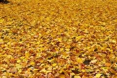 De gele achtergrond van esdoornbladeren Royalty-vrije Stock Afbeelding