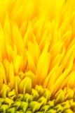 De gele achtergrond van het bloembloemblaadje Stock Afbeelding