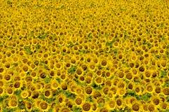 De gele achtergrond van het zonnebloemgebied Stock Foto's