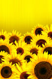 De gele achtergrond van zonnebloemenbloemblaadjes Royalty-vrije Stock Fotografie