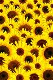 De gele achtergrond van zonnebloemenbloemblaadjes Royalty-vrije Stock Afbeeldingen