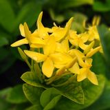 De gele asokabloemen Royalty-vrije Stock Foto's