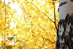 De gele Betulaceae-de herfst Russische bosbladeren tegen heldere blauwe hemel ontruimen dag stock afbeelding