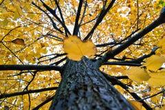 De de gele bladeren en boomstam van tilialindebomen in een herfstdag voor daling en sesonalconcept Royalty-vrije Stock Afbeeldingen
