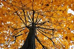 De de gele bladeren en boomstam van tilialindebomen in een herfstdag voor daling en sesonalconcept Stock Foto