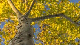 De gele bladeren kondigen de aankomst van de herfst aan stock foto