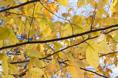 De gele bladeren sluiten omhoog tegen de hemel royalty-vrije stock afbeelding