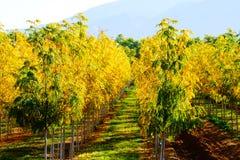 De gele bladeren van daling royalty-vrije stock afbeeldingen