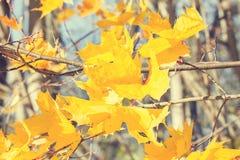 De gele bladeren van de de herfstesdoorn Stock Foto