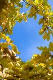 De gele bladeren van de de herfstesdoorn stock afbeeldingen