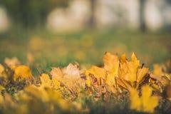De gele bladeren van de de herfstesdoorn op groen gras Bokeh vertroebelde artistieke achtergrond Stock Afbeelding