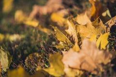 De gele bladeren van de de herfstesdoorn op groen gras Bokeh vertroebelde artistieke achtergrond Royalty-vrije Stock Afbeeldingen