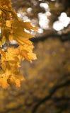 De gele Bladeren van de Esdoorn Royalty-vrije Stock Foto's