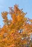 De gele Bladeren van de Esdoorn Stock Afbeelding