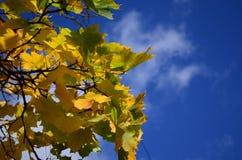 De gele Bladeren van de Esdoorn Royalty-vrije Stock Afbeelding