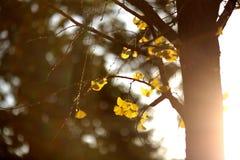 De gele bladeren van de gingkoboom Stock Afbeeldingen