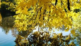 De gele bladeren van de els worden weerspiegeld in het meer, de gouden herfst stock videobeelden