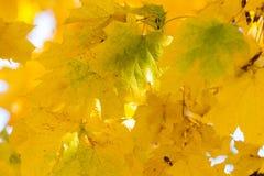 De gele Bladeren van de Esdoorn Stock Fotografie