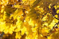 De gele Bladeren van de Esdoorn Stock Foto