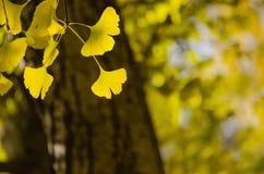 De gele bladeren van Ginko Biloba Royalty-vrije Stock Foto's