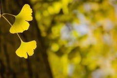 De gele bladeren van Ginko Biloba met onscherpe boom op de achtergrond Royalty-vrije Stock Foto's