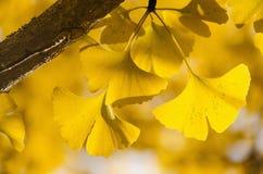 De gele bladeren van Ginko Biloba op de tak stock foto's