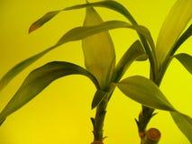 De gele bladeren van het Bamboe Stock Afbeeldingen