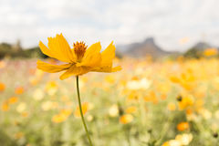 De gele bloei van Kosmosbloemen in het achtertuintje Royalty-vrije Stock Foto