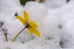 De gele bloeiende bloesem wordt behandeld door verse sneeuw stock afbeeldingen