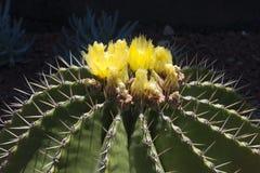 De gele bloeiende cactus van ferocactusschwarzii stock afbeelding