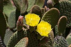 De gele bloeiende cactus van vijgencactusrufida een inwoner van Texas en New Mexico royalty-vrije stock fotografie
