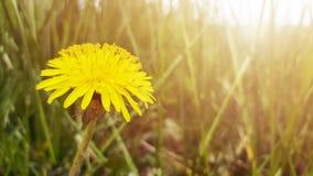 De gele bloem, paardebloem, en dreen gras in zonlicht Vage natuurlijke abstracte achtergrond stock foto