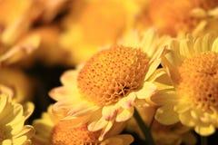De Gele Bloem van Brauty Stock Foto's