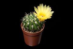 De gele Bloem van de Cactus Royalty-vrije Stock Foto