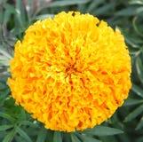 De gele bloem van de cirkelvorm (Hoogste mening) Stock Foto's