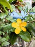 De gele bloem van de fortuininstallatie Royalty-vrije Stock Foto's