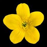 De Gele Bloem van de Goudsbloem van het moeras die op Zwarte wordt geïsoleerde stock afbeeldingen