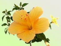 De gele bloem van de Hibiscus Stock Afbeelding