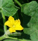 De gele bloem van de komkommer in bloei Royalty-vrije Stock Afbeelding