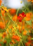 De gele bloem van de Kosmos Stock Foto