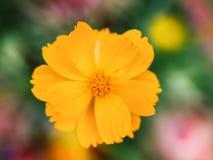 De gele bloem van de Kosmos Stock Afbeelding